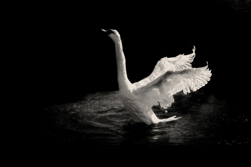 THE PINIONED SWAN