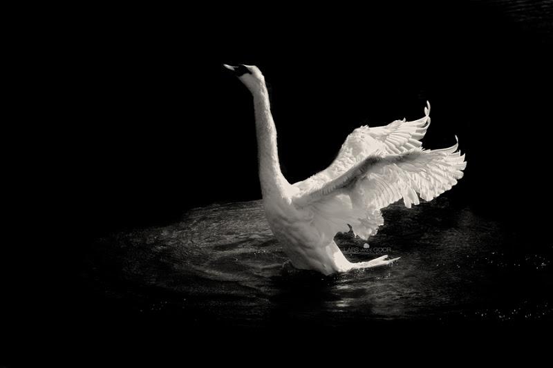 swan-dance-at-night-900-logojpg